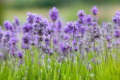 Vidéo : comment planter de la lavande sans son jardin et l'entretenir ? // http://www.deco.fr/jardin-jardinage/fleur/actualite-487062-comment-planter-lavande-jardin-video.html