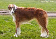 Borzoi / Russian Wolfhound