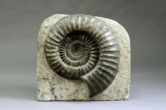 """Grande Ammonite """"Arietites bucklandi"""". Début du Jurassique (Lias) - France (200 millions d'années). Diamètre: 55 cm. (Sans la matrice). Collections de Wavrin - Comte Hellin de Wavrin (Uccle 1946-2016),… - Galerie Moderne - 19/10/2016"""
