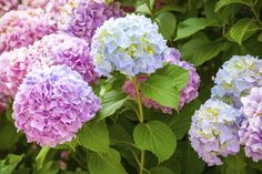 Disheartened because your hydrangea won't bloom? A hydrangea not blooming can be frustrating. But usually when a hydrangea won't flower, it is a common problem with some simple solutions. Click this article for tips on getting your hydrangea to bloom. Hydrangea Tree, Hydrangea Bloom, Hydrangea Colors, Hydrangea Not Blooming, Green Hydrangea, Flower Colors, Growing Hydrangea, Hydrangea Varieties, Limelight Hydrangea