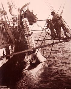 A 1902 photograph of a Sperm Whale being rendered.
