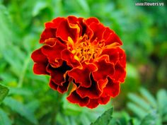 marigold flowers | marigold flower pictures