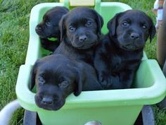 Bailey's Pups!: Want a Black Lab???