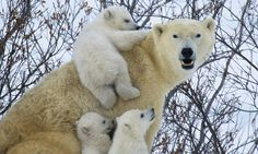 Play time for young and old! Polar bears caught mucking about in the snow after a long hibernation