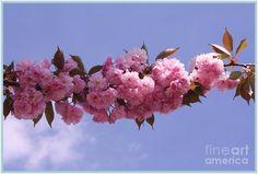 Cherry Photograph - Cherry Blossoms And Blue Skies by Dora Sofia Caputo Photographic Art and Design