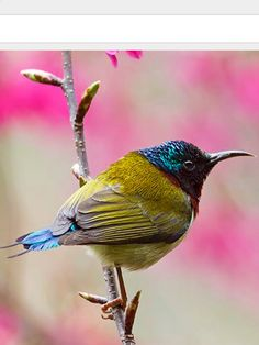 Fork-tailed Sunbird: tropical & subtropical forests of CN/ HK/ LA/ VN | Menxiu Tong/ China Wild Tour, nationalgeographic.com