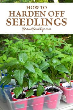 How to Harden Off Seedlings If you grow your own vegetable garden seedlings indoors under lights or purchase transplants from a nursery greenhouse you will need to adapt. Vegetable Garden For Beginners, Home Vegetable Garden, Gardening For Beginners, Herb Garden, Gardening Tips, Garden Plants, Container Gardening, Garden Tools, Organic Vegetables