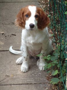 Irish red and white setter. i have always loved these!! like the classic pup