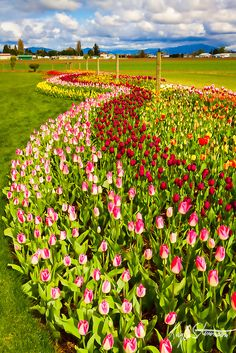 Flowing Tulip Gardens, Skagit Valley Tulip Festival, Washington