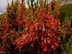 Erica curviflora Veggies, Bloom, Garden, Flowers, Plants, Recipes, Vegetable Recipes, Garten, Vegetables