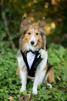 Sheltie wears a doggy tux as a ringbearer
