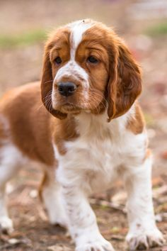 Welsh Springer Spaniel Puppy By Mary Maier Photography