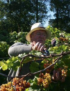 Oatley Vineyard, Somerset UK, Kernling harvest