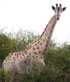 Funny Wildlife, White/Leucistic/Albino Giraffe Courtesy of Taga...