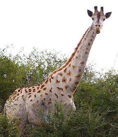 Funny Wildlife, White/Leucistic/Albino GiraffeCourtesy ofTaga...
