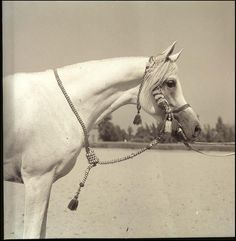 "Arabian Stallion ""Morafic"". This sire appears back in my mare's maternal pedigree through his son, Shaikh al Badi and that son's daughter, Akira Magidaa."