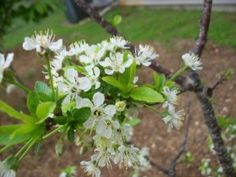 Thin your Fruit Trees Early for a Bigger Harvest