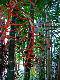 Chamaedorea tepejilote 003.JPG