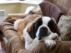 A St. Bernard chillin out!