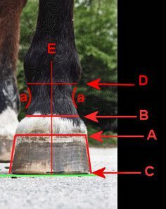 LANDMARKS for TRIMMING THE EQUINE HOOF PT I:  Looking at the outside of the Hoof Capsule
