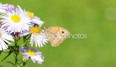#Dusky #Meadow #Brown #Butterfly On Wild #Chrysanthemum @depositphotos #depositphotos #macro #ktr14 #nature #insects #green #flowers #flowerpower #stock #photo #new #download #hires #portfolio