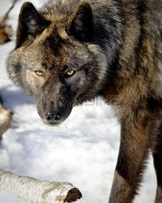 WOLF,BLACK Stock Photos / Pictures / Photography / Royalty Free Images at Inmagine