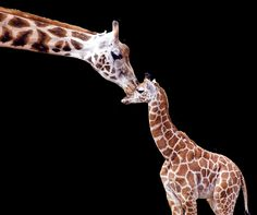Baby Bella and her mother at Chester Zoo  -      by Steve aka Crispin Swan