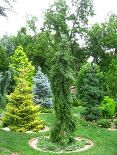 Hi, In your experience are there major distinctions between Picea pungens glauca pendula and the blues or are their color and structure quite similar (I know the blues came from glauca pendula). I'm wondering because a lot of the plants I've seen are hard to tell apart, I've even seen photos of the ...