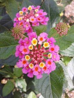 「ランタナ」でしょうか。  夏のお花ですので(木)、今の季節は枯れていますが、咲いているのでしょうか。...