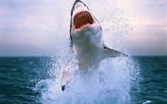 Great White Shark Leaping Out Of Ocean