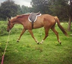 Beautiful TB gelding.