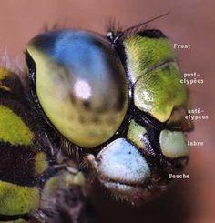 Gros plan de la tête de l'Anisoptère Aeschna cyanea femelle