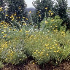 Rudbeckia maxima (Giant coneflower, Black-eyed Susan) - Fine Gardening Plant Guide