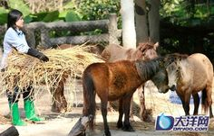 Debao or Guoxia horse. Life of Guangzhou - The World's Shortest Horse in Guangzhou Zoo.