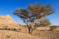 Acacia tree in dry desert landscape,Hajar al Gharbi Mountains,Dhakiliya Region,Sultanate of Oman,Arabia,Middle East
