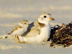 Plover chicks: serious contenders for Cutest Baby: Avian Division