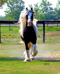 How could you not smile if you saw this? Gypsy MVP |Sampson | Gypsy Vanner Gelding | Piebald