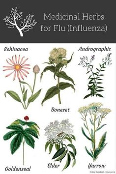 Natural Home Remedies Medicinal Herbs for Flu (Influenza) Relief via - Information on the health properties, benefits, active substances and side effects of medicinal herbs for seasonal flu or influenza treatment and relief Healing Herbs, Medicinal Plants, Natural Healing, Holistic Healing, Natural Oil, Natural Beauty, Natural Home Remedies, Herbal Remedies, Health Remedies