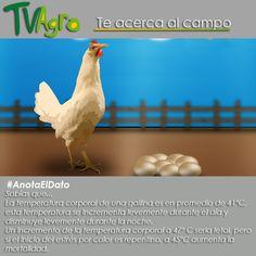 #AnotaElDato la  temperatura  corporal en la gallina es vital para su supervivencia.