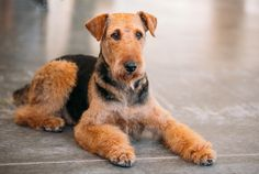 9 Versatile Facts About the Airedale Terrier   Mental Floss