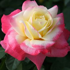 """French Perfume™, A rose of striking color. Heady and fruity spice fragrance. The perfectly formed 4-5"""" flowers (petals 40+) with high creamy yellow centers shading to lipstick red near the petal edges produced in clusters of 3 to 5 on a sturdy upright plant with dark green, leathery foliage. A Japanese rose with a french name!!!"""