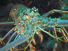 how to catch spiny lobster. up close spiny lobster