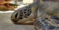 Sea Turtle Math