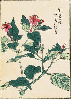 "Japanese antique woodblock print Kōno Bairei ""Mirabilis jalapa"""