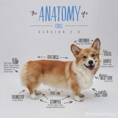 "queenscorgi: "" The Anatomy of a Corgi - Version 2.0 at queenscorgi.tumblr.com "" Pay special attention to the boopers and the drumsticks!"