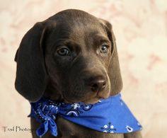 Blue Weimaraner Puppy