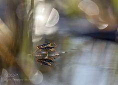 Gerridae by oisandbufoto. @go4fotos