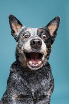 The famous Cattle Dog smile! Aussie Cattle Dog, Austrailian Cattle Dog, Funny Dogs, Funny Animals, Cute Animals, Animals Dog, I Love Dogs, Cute Dogs, Tier Fotos