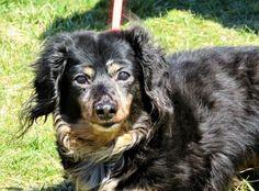 Dachshund dog for Adoption in Pittsburgh, PA. ADN-532509 on PuppyFinder.com Gender: Female. Age: Senior