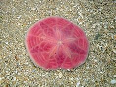Pink sand dollar tattoo idea
